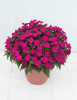 サカタのタネ、大気汚染を軽減する環境浄化植物の濃色系新品種を発売