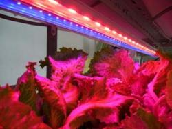 LEDで高速栽培 昭和電工が福島県川内村の植物工場に技術提供