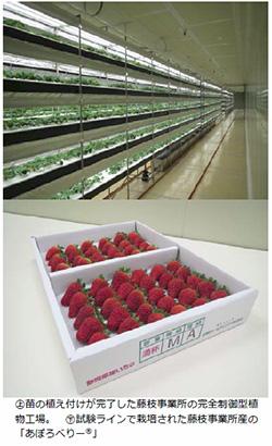 静岡県で植物工場製イチゴが生産開始 関東・東海へ供給
