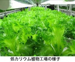 福島県に半導体製造技術を活かした植物工場 富士通が低カリウム野菜を栽培