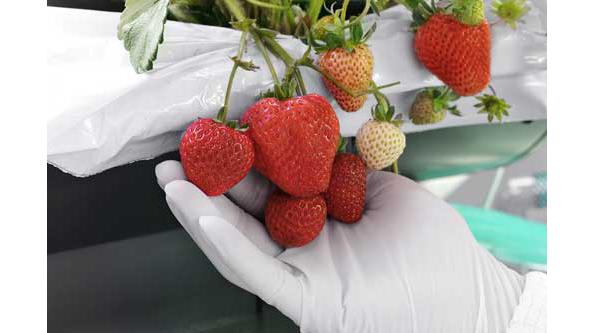 シャープ、ドバイで植物工場の事業化へ 「高級」日本産イチゴを栽培