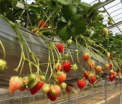 イノプレックス、植物工場のイチゴ栽培管理技術者の育成講座をスタート