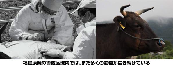 原発20km圏内の家畜の被ばく量とDNA損傷 共同研究が開始
