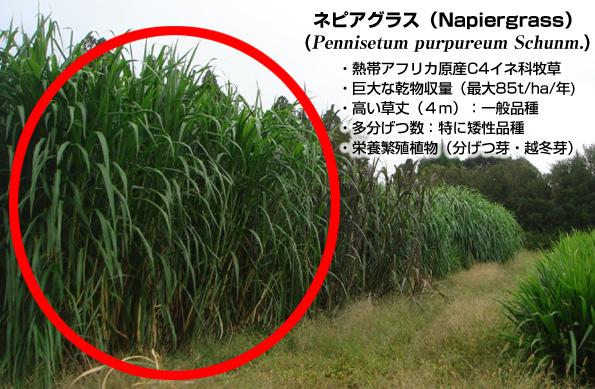 除染植物「ネピアグラス」 放射能汚染された農地から高効率でセシウムを吸収
