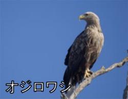 絶滅危惧種のワシ、衝突の可能性 日本野鳥の会など、北海道の風力発電計画に要望書