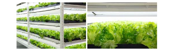 「柏の葉スマートシティ」の国内最大級の植物工場が稼働 1日1万株を生産