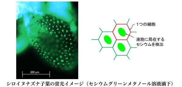 植物内のセシウムを見える化! 除染用植物の性能アップに役立つ新技術
