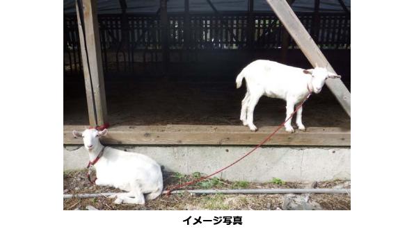 鳥取県米子市のメガソーラー、ヤギによる除草で環境負荷低減