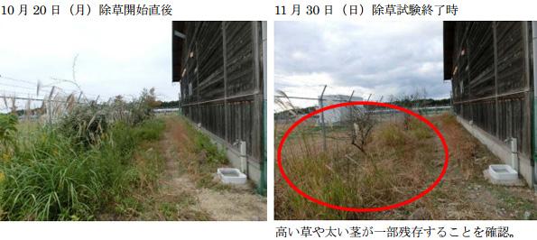 SBエナジー、ヤギ放牧の実験結果公表 歩行で踏まれた部分も除草効果