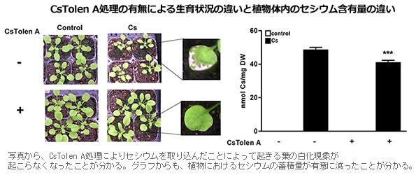 理研、野菜や米がセシウムを取り込まないようにする物質を発見