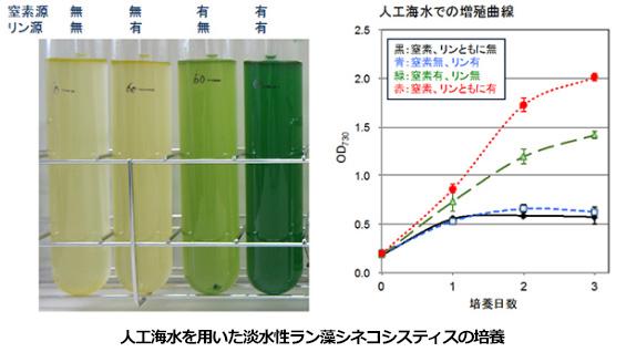 淡水性のラン藻を海水で培養 理研、生産できるアミノ酸が増えることも確認