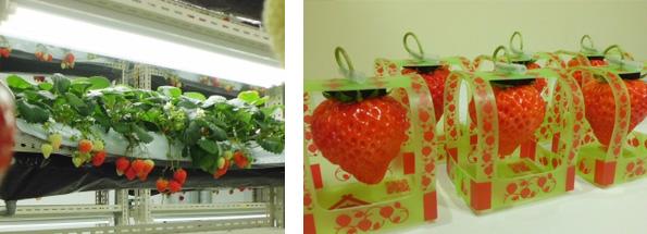 小学校の廃校を利用した植物工場で高級イチゴ「越後姫」 新潟県知事が視察