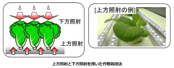 植物工場の野菜、下からLEDの光を当てると老化抑制+光合成促進効果