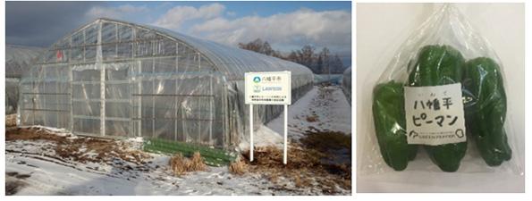 ローソン、寒冷地帯で地熱温水によるピーマンの周年栽培 6次産業化も目指す