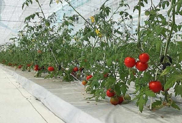 大林組、植物工場でつくったミニトマトを初出荷 農業ビジネスに本格参入
