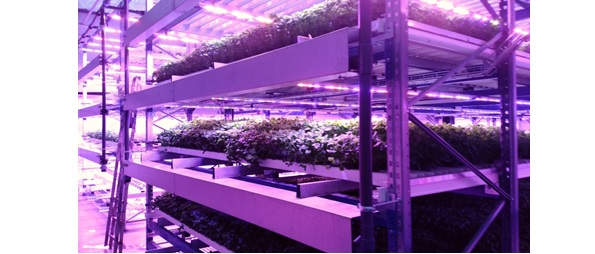 富士通、今度はフィンランドで野菜を販売 人工光型植物工場を運営する新会社