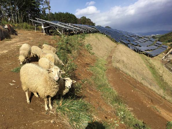 羊と太陽光パネル